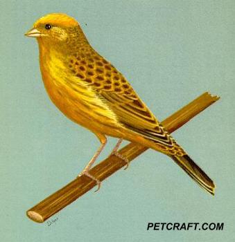 Clear Cap Gold Lizard Canary