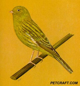 Yellow-Green Border Fancy Canary