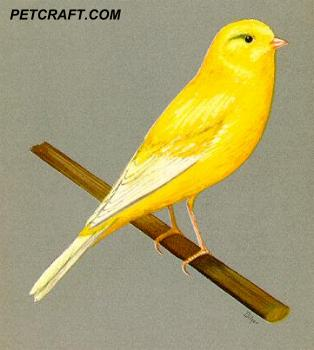 Ticked-Buff Border Fancy Canary
