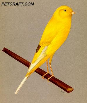 Wing-Marked Yorkshire Canary