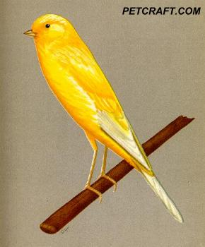 Buff Yorkshire Canary