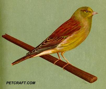 Canary And European Linnet Cross