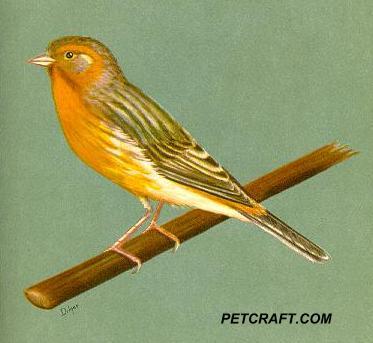 Orange-Cinnamon Canary And Siskin 2nd Cross
