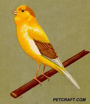 Dilute Hen Chopper Canary