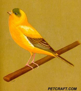 Variegated Chopper Canary