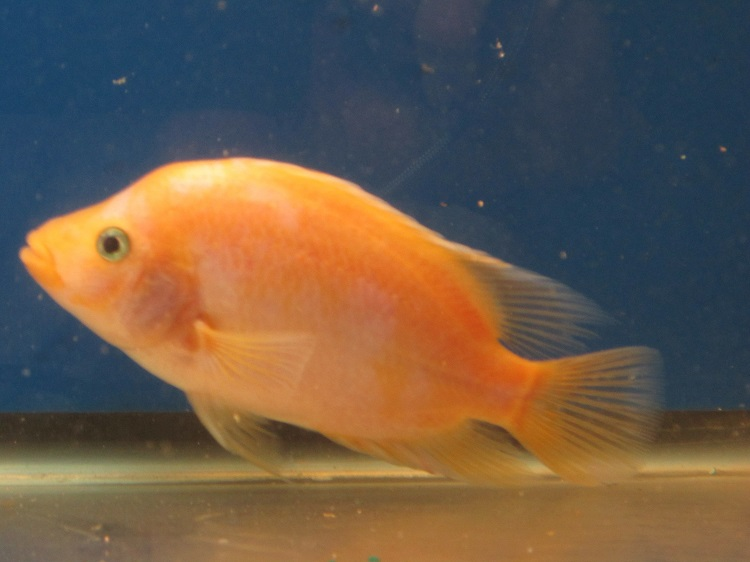January 2016 petcraft for Red devil fish for sale
