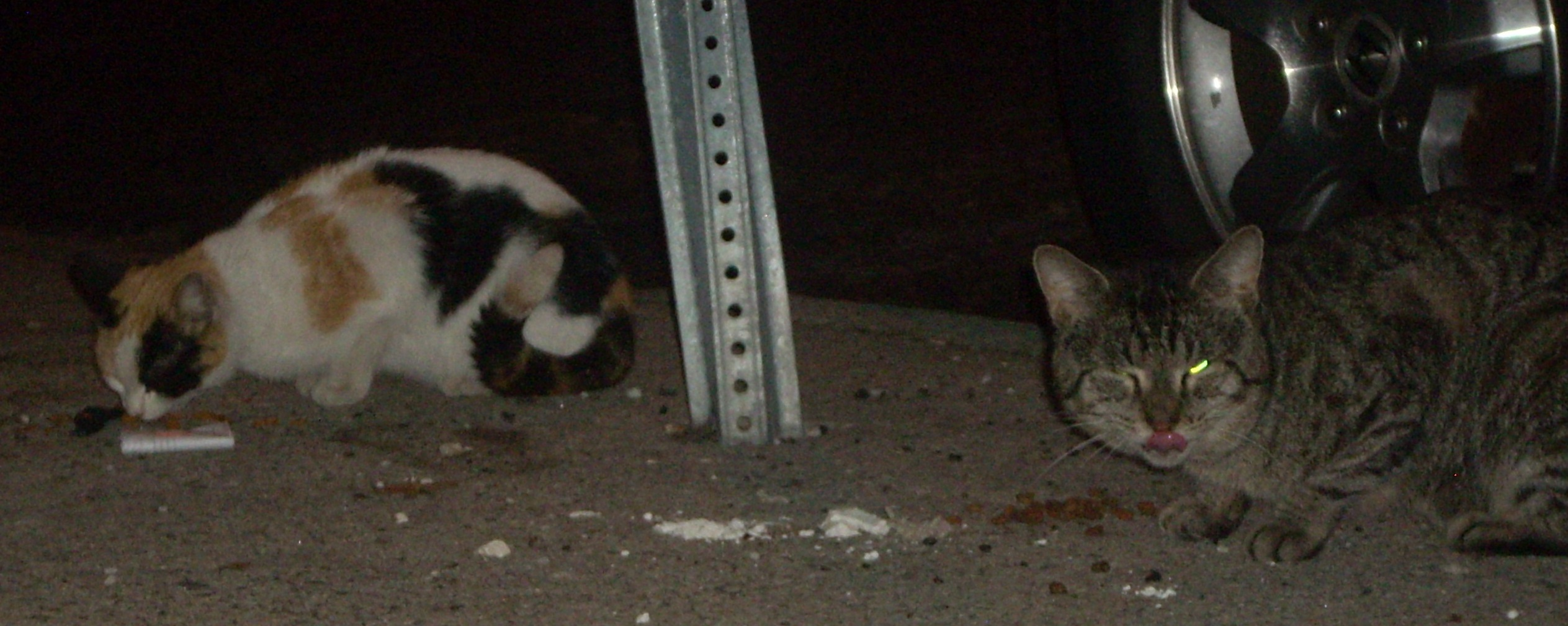 Community cats eating in street
