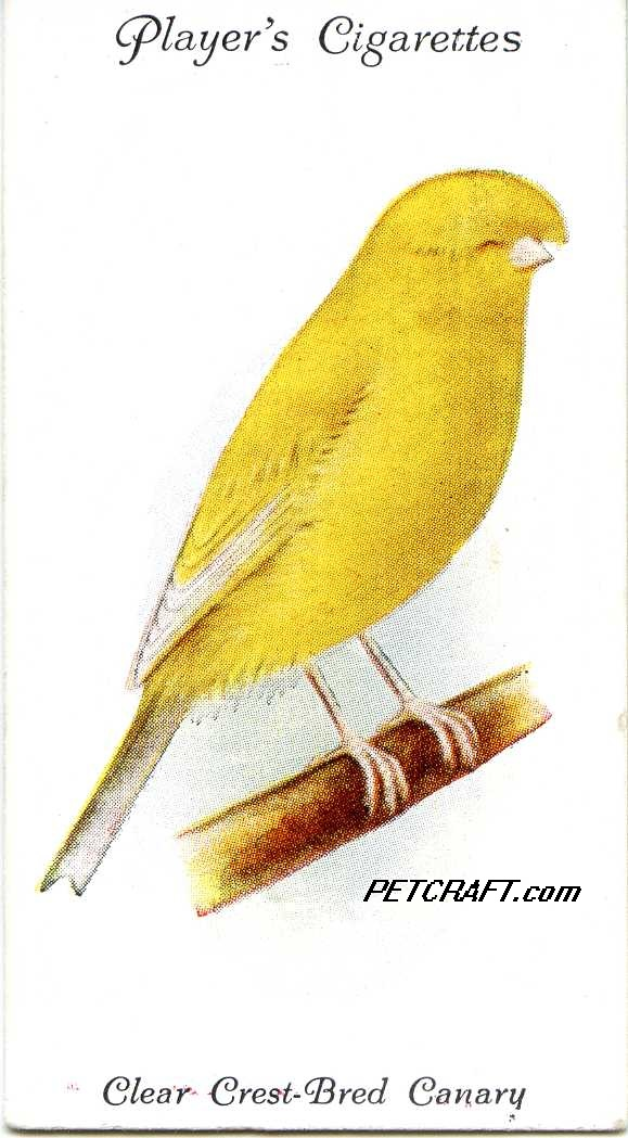Clear Crest-Bred Canary — AVIARY AND CAGE BIRDS UK CARDS (1933)