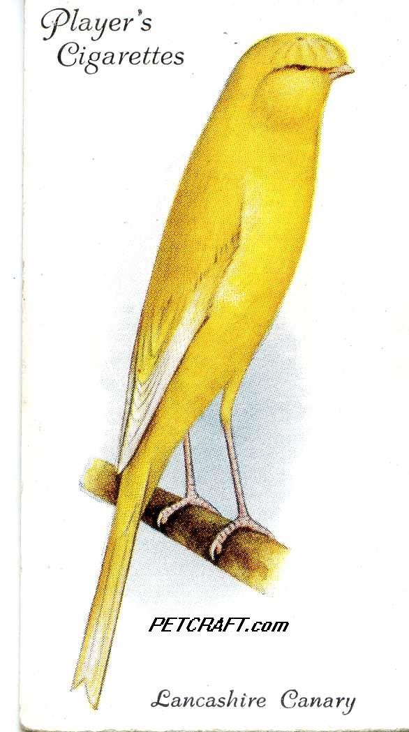 Lancashire CANARY — AVIARY AND CAGE BIRDS UK CARDS (1933)