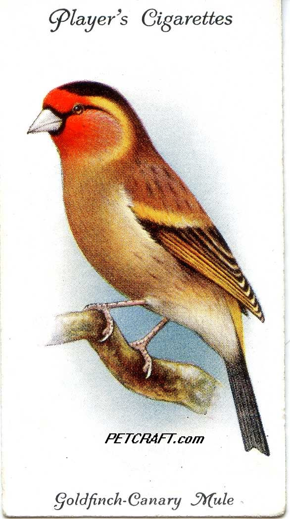 Goldfinch-Canary Mule — AVIARY AND CAGE BIRDS UK CARDS (1933)