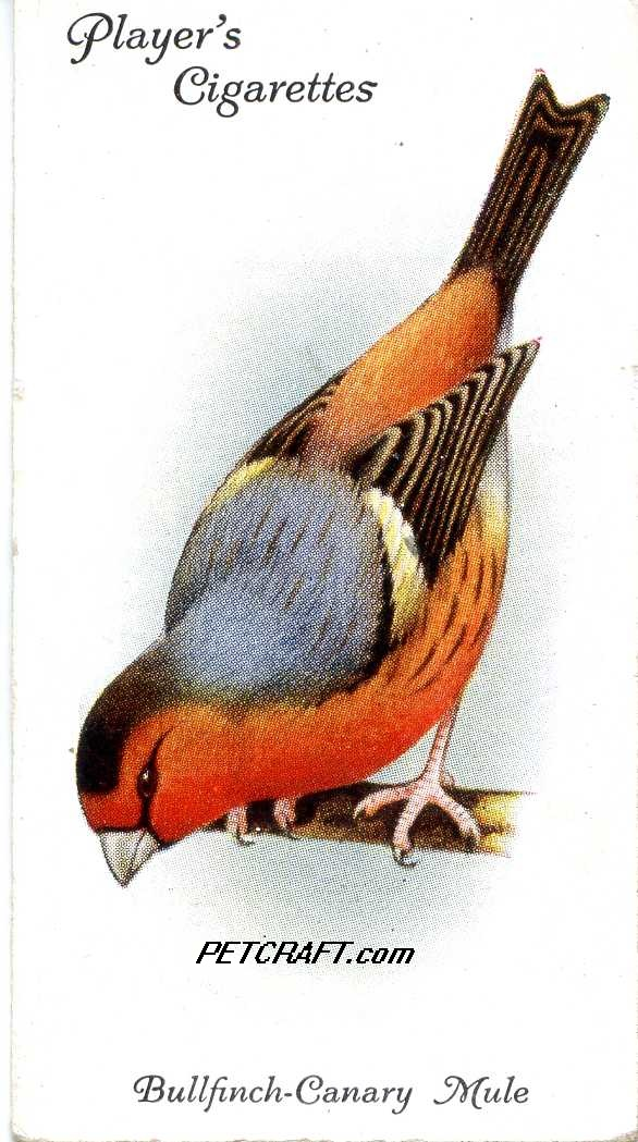 Bullfinch-CANARY MULE — AVIARY AND CAGE BIRDS UK CARDS (1933)