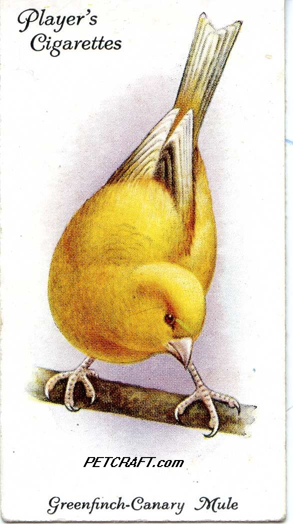 Greenfinch-Canary Mule — AVIARY AND CAGE BIRDS UK CARDS (1933)