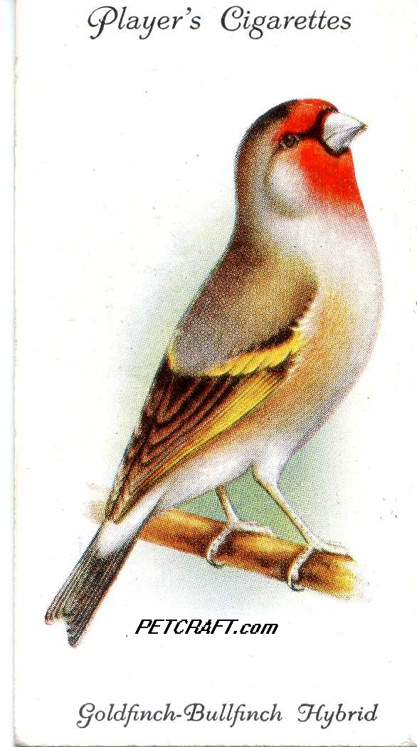 Goldfinch-Bullfinch Hybrid — AVIARY AND CAGE BIRDS UK CARDS (1933)