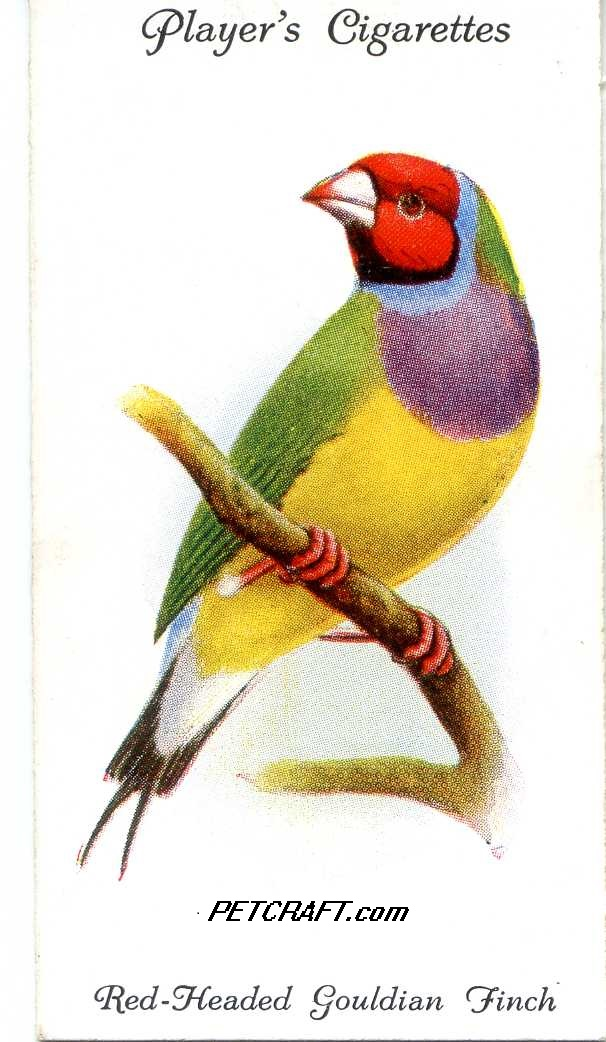 Red-Headed Gouldian Finch — AVIARY AND CAGE BIRDS UK CARDS (1933)