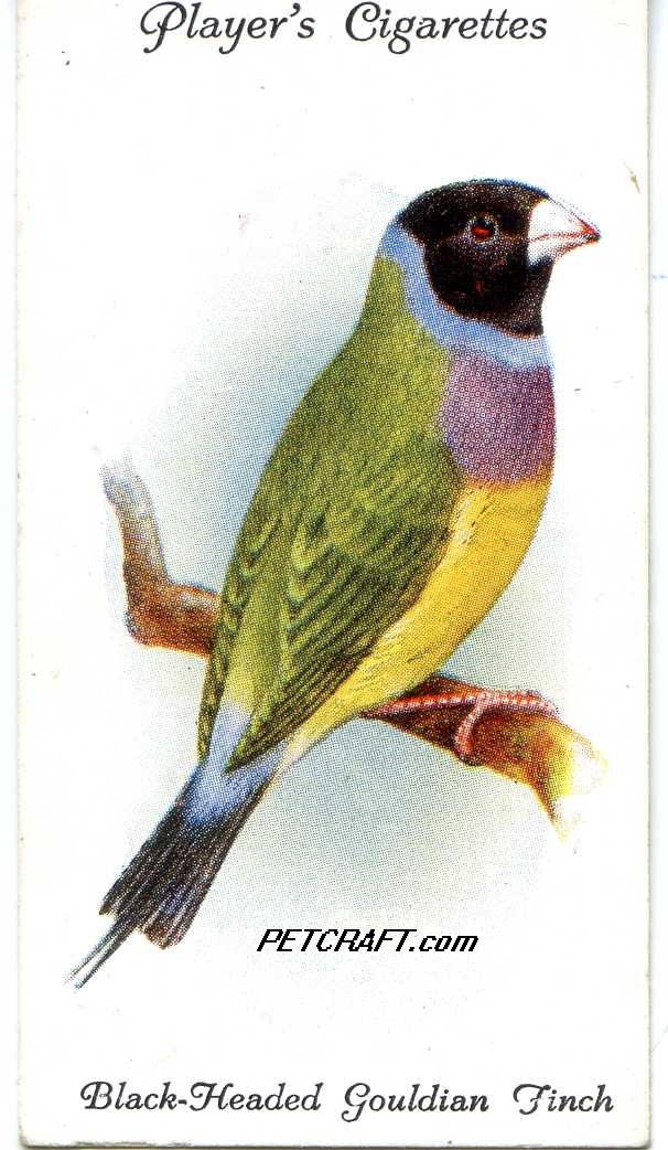 BLACK-HEADED GOULDIAN FINCH — AVIARY AND CAGE BIRDS UK CARDS (1933)