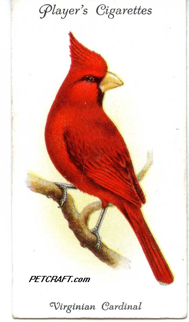 VIRGINIAN CARDINAL — AVIARY AND CAGE BIRDS UK CARDS (1933)